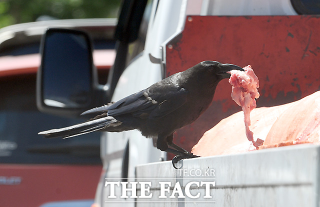 16일 오후 서울 성북구의 한 도로에서 고기 포대를 실은 트럭 한 대가 신호에 잠시 정차하자, 까마귀 한 마리가 포대를 뚫어 얻어 낸 생고기 뭉치를 부리로 물어 나르고 있다. /이새롬 기자