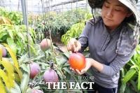 농진청, 인기 많은 열대과일 '망고' 표준 재배력 보급