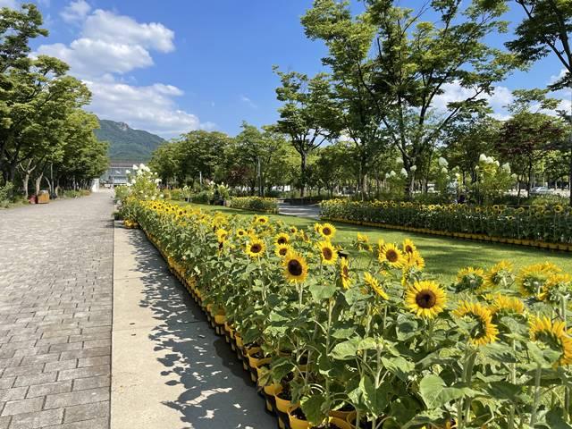 서울대공원이 장기화된 코로나19로 지친 마음을 위로하고자 희망의 해바라기 전시회를 열었다. /서울대공원 제공