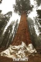 '세계서 가장 큰 나무' 제너럴 셔먼, 계속되는 산불에 '방화 담요' [TF사진관]